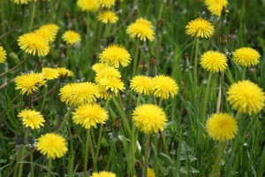 The field of flowering yellow dandelion